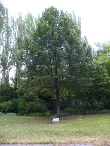 Szabadság fája, Városliget / Tree of Liberty